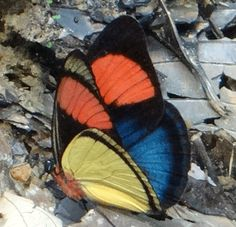 Stunning colorful butterfly! Painted Panacea (Batesia hypochlora), Napo, Ecuador