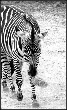 #zoo #zebre