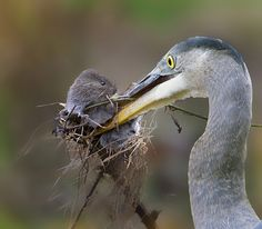 I saw a heron and bank vole as they remain active throughout the year. Water voles tend to stay in their burrows, but a heron has caught one here. Photo Animaliere, Ostriches, Pond Life, Yellow Eyes, Big Yellow, Blue Heron, Cool Pets, Photos, Pictures