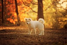 Photo Akita by Luis Valadares on 500px