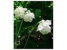 Den eleganta hallon aklejan Tower White som har vita helt dubbla blommor. Den når en respektfull höjd av 75 cm och blommar juni-juli.