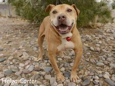 """A1742074 – Cash is a 9 year-old male American Pit Bull terrier mix who has been looking for his forever home since June! Cash is very sweet and laid back. He enjoys the company of people, and should meet other dogs before adoption. Cash deserves a nice cozy home for the Holidays. Meet him at the Westside shelter. (""""Dude, totally laid back"""") www.cabq,gov/pets"""