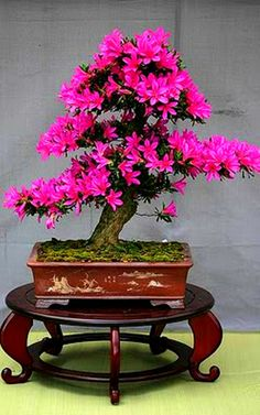 ultra small Bonsai Tree