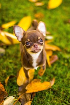 Cute #chihuahua - Lovely chihuahua with tons of personality. Only 15 weeks old