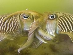 every spring thousands of cuttlefish come to mate in our housreef, the Oosterschelde, Netherlands