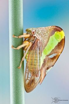 Tree Hopper (Smilia fasciata)