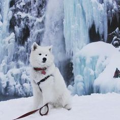 How is it possible to be this beautiful?? | 18 Pictures That Prove Samoyeds Are Just Perfect, Fluffy Clouds