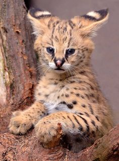 Serval Family Love (by Mike Wilson) Cute Baby Animals, Animals And Pets, Funny Animals, Kittens Cutest, Cute Cats, Cats And Kittens, Big Cats, Beautiful Cats, Animals Beautiful