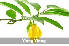 Además de ser un poderoso afrodisíaco, aquí te mostramos para qué más te puede servir el aceite de Ylang Ylang!