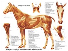 horse muscular structure   Equine Muscle Chart