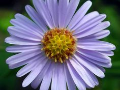 Aster tataricus (Tatarian Aster) is an impressive, stately perennial with a flowering height of up to 6 feet (1.8 m). Distinctive paddle...