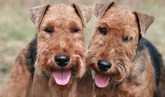 Welsh Terriers are sturdy dogs with charming personalities that make them suitable for many types of homes. Learn all about Welsh Terriers, including grooming, training, health problems, history, adoption, finding a good breeder, and more.