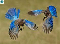 https://www.facebook.com/WonderBirdSpecies/ Steller's jay (Cyanocitta stelleri); Western half of North America from Alaska in the north to northern Nicaragua; IUCN Red List of Threatened Species 3.1 : Least Concern (LC)(Loài ít quan tâm)    Giẻ cùi Steller; Họ Quạ-Corvidae; Bắc và Trung Mỹ; Đặt tên theo nhà tự nhiên học người Đức Georg Wilhelm Steller (10/03/1709 – 14/11/1746)