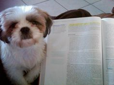 Don't study..pay attention to me! Sophie the shih tzu