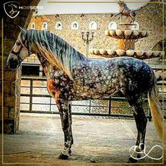 If it& the ca . - Ziegen, Pferde und alles was ich so mag. Andalusian Horse, Appaloosa Horses, Most Beautiful Horses, All The Pretty Horses, Beautiful Creatures, Animals Beautiful, Cute Animals, Rare Horses, Wild Horses