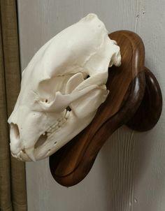 Bear Mounts, Bear Skull, European Mount, Bear Hunting, Trophy Rooms, Head Games, Mule Deer, Black Bear, Antlers