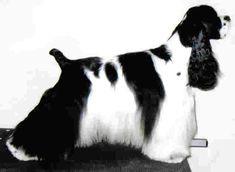 American cocker spaniel, black & white, imaculately groomed