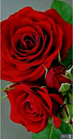 Good Morning Beautiful Flowers, Beautiful Flowers Pictures, Beautiful Rose Flowers, Amazing Flowers, Rosas Gif, Good Morning Animation, Rose Flower Wallpaper, White Flower Farm, Tulips Garden