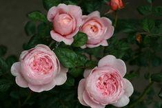 Zart in der Blüte, robust im Wuchs, damit ist die Englische Rose Queen of Sweden eine vollendete Majestät. Über kräftigem Blattwerk erschein...