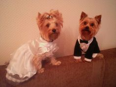Yorkshire Terrier - 31 Pictures