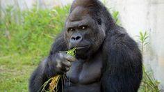 Shabani: The making of a metrosexual gorilla