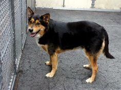 Manhattan Center    DUKE - A0999668   NEUTERED MALE, BLACK / TAN, GERM SHEPHERD MIX, 6 yrs  OWNER SUR - EVALUATE, NO HOLD  Reason PERS PROB  Intake condition NONE Intake Date 05/13/2014, From NY 10472, DueOut Date 05/13/2014  https://www.facebook.com/photo.php?fbid=804201146259433&set=a.617938651552351.1073741868.152876678058553&type=3&permPage=1