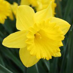 Dutch Master Daffodils Daffodil Bulbs, Tulip Bulbs, Daffodil Flower, Spring Bulbs, Spring Blooms, Spring Flowers, Daffodils Planting, Planting Bulbs, Flowers Uk