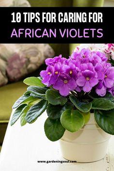 10 Tips for Caring for African Violets Inside Plants, All Plants, Indoor Plants, House Plants, Indoor Flowers, Potted Plants, Growing Flowers, Planting Flowers, Planting Plants