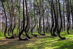 Really strange bent trees  #trees #nature #strange #weird #interesting