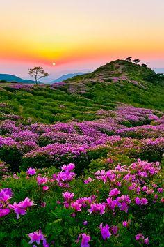 Royal Azaleas on Mt. Hwangmaesan by DaeWook