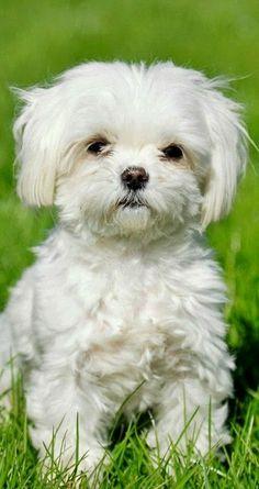 Top 10 Best Lap Dog Breeds Maltese :)