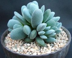 Crassula tecta: I have these and need to pin this so I dont forget their name.