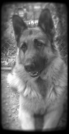 #germanshepherds #dogs-Smokie looked exactly like this dog.  He was fourteen years old when he died.