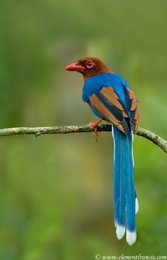 Sri Lanka Blue Magpie by Whytake via fairy-wren.tumblr.com