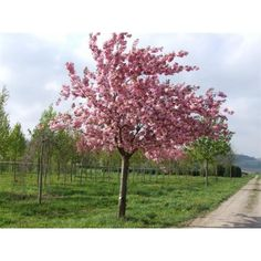 Prunus Serrulata Kanzan (Japanse Sierkers)