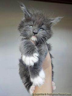 Maine Coon of Superbia - Suberbias L-Kitten - Supe. Maine Coon of Superbia – Suberbias L-Kitten – Superbias Lumina Pretty Cats, Beautiful Cats, Animals Beautiful, Beautiful Pictures, Cute Kittens, Cats And Kittens, Kitten Breeds, Gato Grande, Maine Coon Kittens