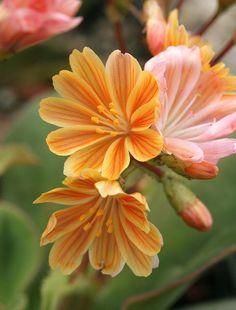 Lewisia cotyledon 'Sunset Strain' - Flickr - Photo Sharing!