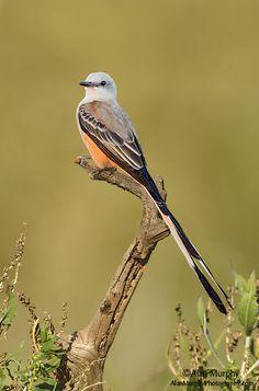 Scissor-tailed Flycatcher, Galveston Co, TX - www.alanmurphyphotography.com