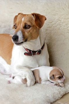 Jack Russell Terrier Puppy Dogs
