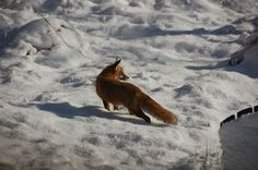 Father Fox Hunting at My Cottage
