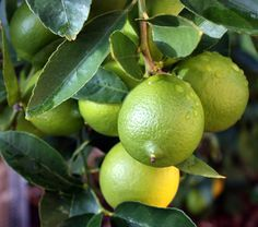 The Bearss lime is a vigorous tree with lots of wonderful large fruit. This complete article covers the care and cultivation instructions for success.