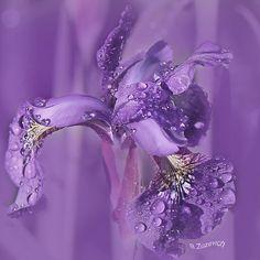 ~~ Raindrops on Iris ~~ Purple Iris, Purple Love, All Things Purple, Shades Of Purple, Purple Flowers, Purple Baby, Pink, Mauve, Purple Reign