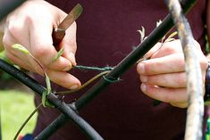 Pruning established CLIMBERS and WALL SHRUBS. Knowing how to keep climbers and wall shrubs in shape will prevent them becoming a bushy or straggly me. Wisteria Pruning, Shade Shrubs, Rhs Hampton Court, Plant Health, Garden Shrubs, Climbing Roses, Winter Garden, Climbers, Plant Care