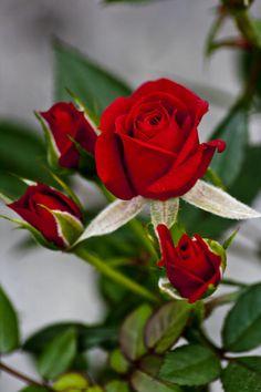Resultado de imagem para rose family
