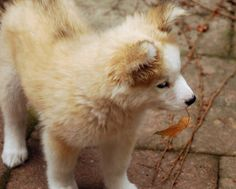 This husky/golden mix might one of the cutest puppy ever created.