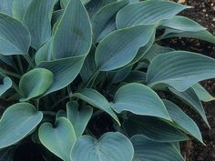 Hosta Halcyon (east side of deck, fifth from south)