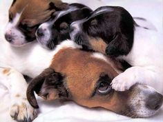 Todays Cuteness,for the dog lovers:) jack russels by Vivoad.