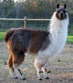 miniature llamas | mini llamas | Llama's / Alpaca's-cute