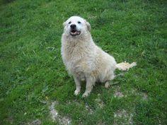 Bianca è una splendida maremmana di 10/11 anni. Sembra una candida e dolce pecorella. Naturalmente è di taglia grande... ma ha un carattere talmente docile che sembra quasi finta. Ottima da compagnia. Bianca spera di non dover vivere tutta la vita in canile, nel quale vive da molti molti anni! ...
