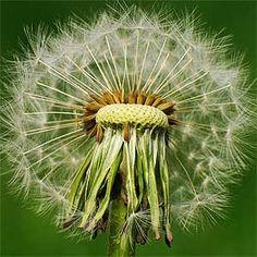 www.middlepath.com.au/plant/img/dandelion_seed_head.jpg